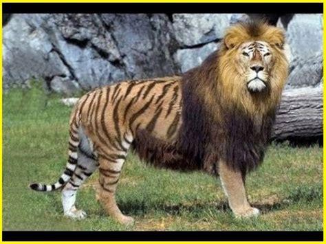 gambar hewan hybrid hasil kawin silang asli  aneh perbuatan manusia ngasihcom