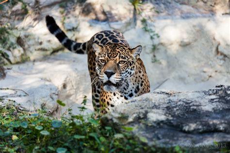 jaguar, Wild, Cat Wallpapers HD / Desktop and Mobile ...