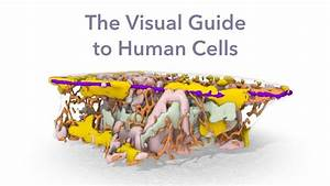 Visual Guide To Human Cells