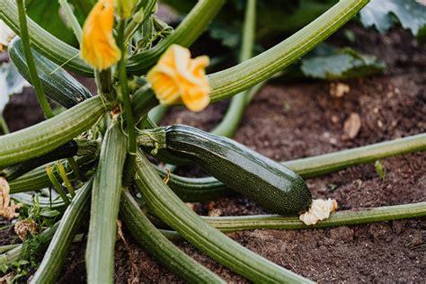 A Complete Comprehensive Guide For Zucchini Plant Care