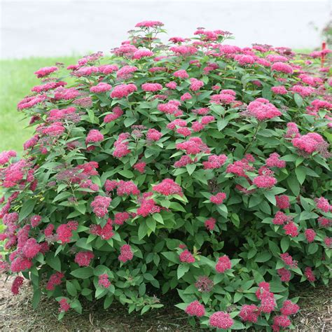 Spirea Double Play® Red from Wayside Gardens