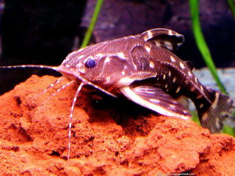 poisson chat d aquarium agamyxis albomaculatus poisson chat fouet 233 levage