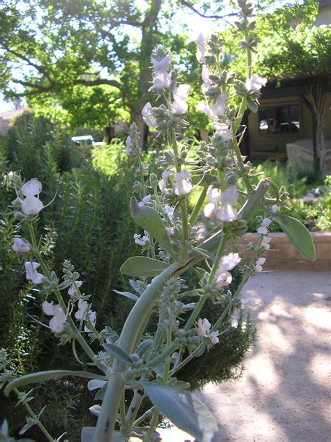 Foothill Gardens by White Salvia Apiana See In The Authentic Foothill