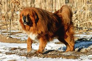 Five large dog breeds that look like bears | Pets4Homes