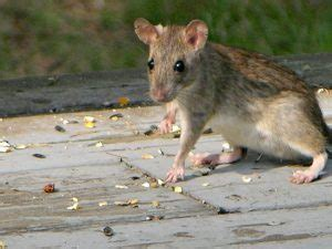 rats what to do when you find them in the attic