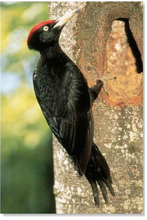 Black Woodpecker Birds