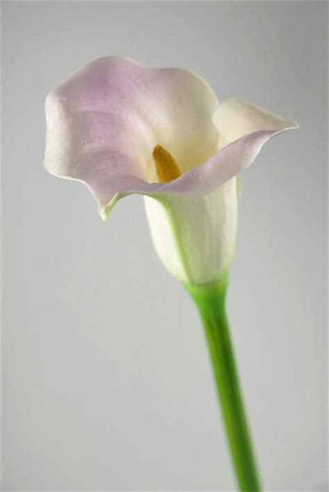 real touch calla lily lilac cream  tall