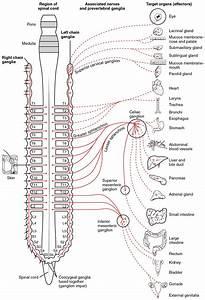 Nerve Ganglia Definition