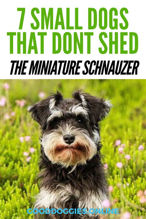 which dogs do not shed or smell 7 adorable small dogs that don t shed doggies