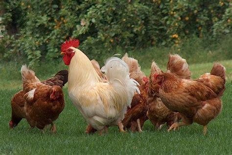 galline da cortile e tornato di moda allevare galline urca urca