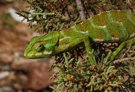 Chamaeleo monachus - Socotran Chameleon