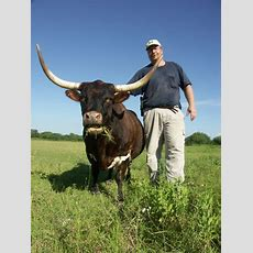 Nonmotorized Pature Mowers! Miniature Longhorn Cattle At