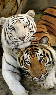 What animals are the enemies of the white tiger? - Quora