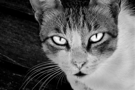 are cats color blind the ultimate guide to cat vision pawculture