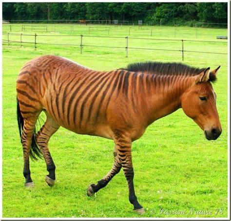 zebra horse hybrids zorse horses animal ponies rare stormy zebras names