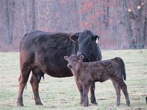 File:Black Gelbvieh cow and Calf.jpg - Wikimedia Commons
