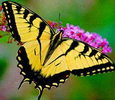 yellow butterfly images beautiful butterflies