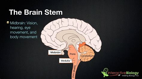 parts   brain stem   functions