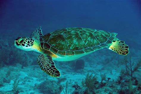 Turtle Images Lets Learn About Green Sea Turtles Journal Edge