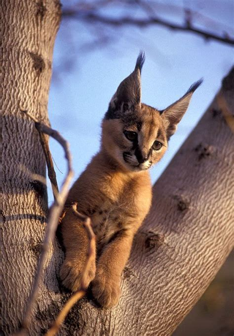 pointy ears small wild cats animals animals beautiful