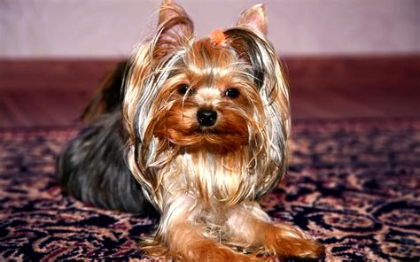 hd yorkshire terrier dog wallpapers