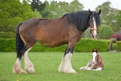 Shire Foal Horse Horses Biggest Robinsons Foals
