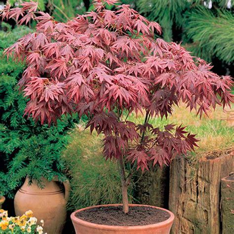 acer trees images 1 x acer atropurpureum purple japanese maple tree shrub garden plant in pot ebay