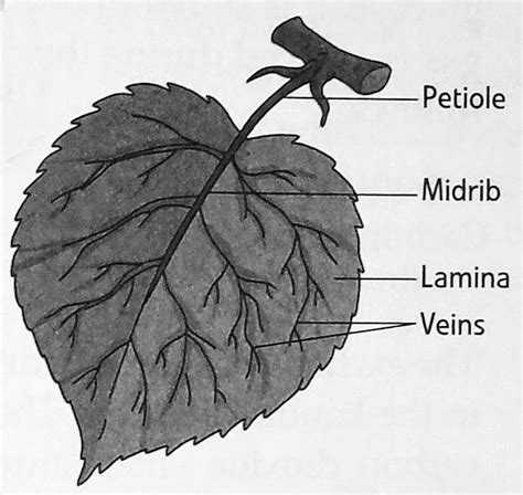 Leaf Part Diagram by Science Dpskamal Notes Gr5 Getting To Plants