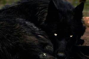 Black wolf   Wolfy   Pinterest