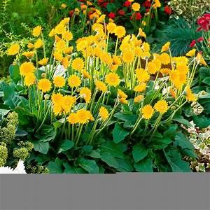 Immergrüne Winterharte Kübelpflanzen : balkon gerbera garvinea sweet smile gelb online kaufen bei g rtner p tschke ~ Markanthonyermac.com Haus und Dekorationen