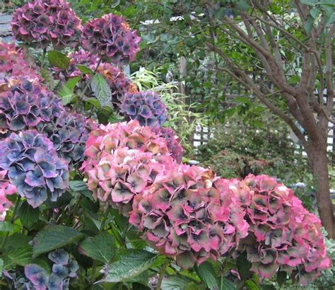 care of hydrangeas in pots how to grow and care for hydrangeas gardens shrubs and a child