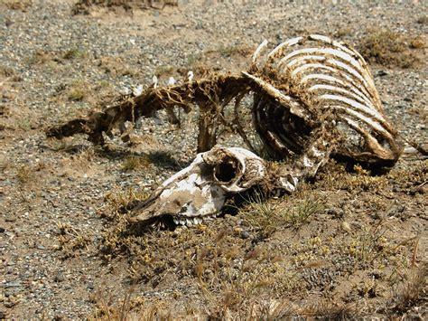 Animal Skeleton Wallpaper - nimal desert skeleton animal carcass animal wildlife