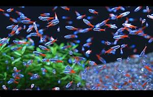 Quiet Corner:Neon Tetra -Fish Guide - Quiet Corner