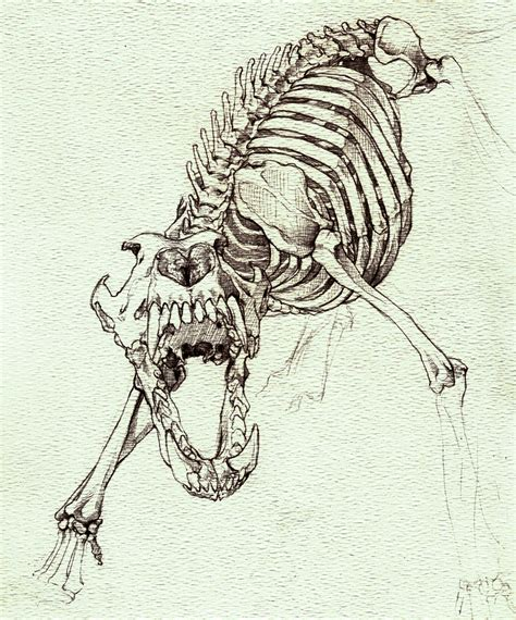 deviantart   wolf skeleton study  dark wolf