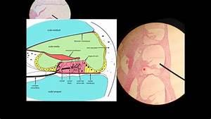 Cochlea Histology Histology