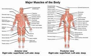 33 Label Muscular System Worksheet