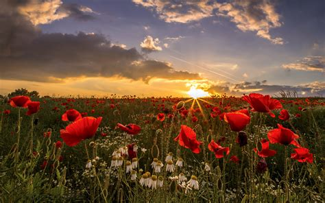 sunset field poppies wakefield  west yorkshire uk