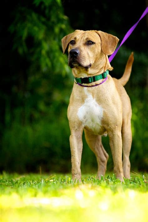 lab black mouth cur mix dog breeds picture