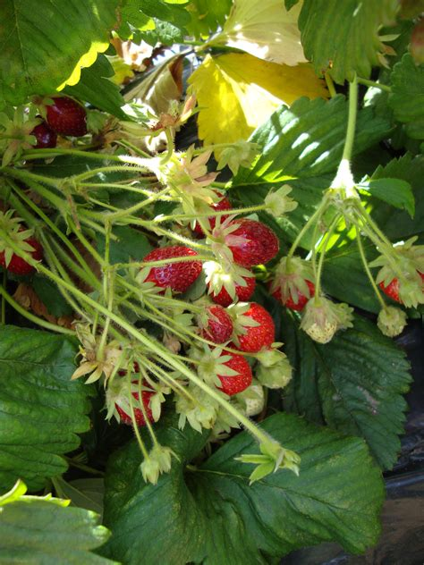 better fruit organic strawberry farms found to have better fruit and