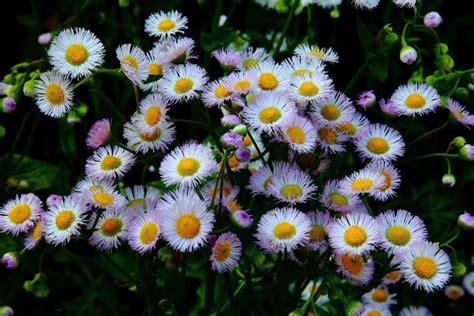 margherite fiori fiori margherita fiori di piante caratteristiche della