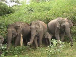 Wild Elephants Animals