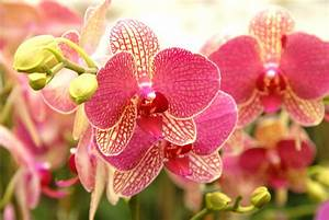 Phalaenopsis - Matsui Nursery Making lives more