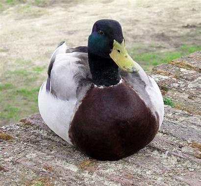 Eend Duck Grave Wiki Wikipedia Water