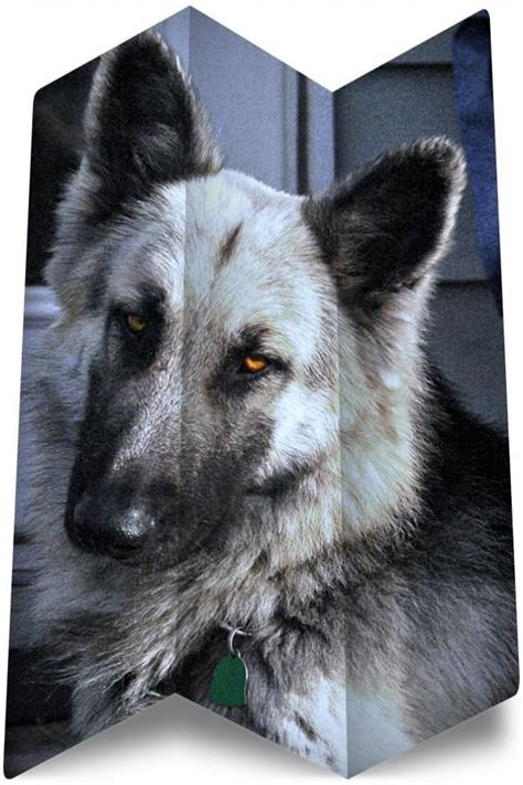shepherd german puppies purebred rescue searching california dogs
