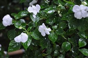 Plantes D Ombre Extérieur : fleurs ombre et mi ombre ~ Melissatoandfro.com Idées de Décoration