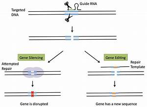 What Are Crispr  Cas9 And Other New Breeding Technologies