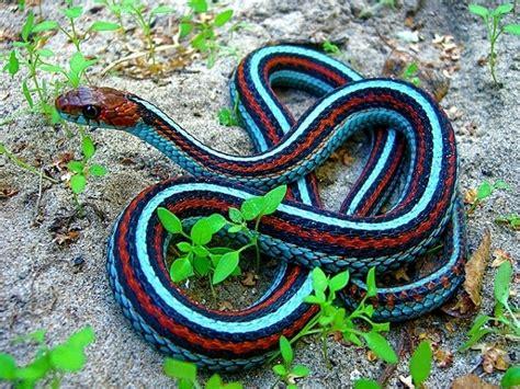 dessins en couleurs  imprimer serpent numero