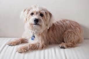 yorkiepoo yorkshire terrier poodle mix info temperament