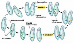 Conjugation Paramecium