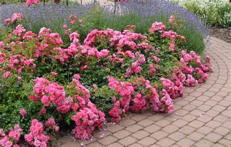 12 Ways To Landscape Using Flower Carpet Roses Joe Polish Carpet Cleaning How To Get Rusty Water Stains Out Of Stores In Baton Rouge Lakewood Ohio Cooks Macon Ga Calgary Sw Dynamic Care Remove Glued Down From Cement